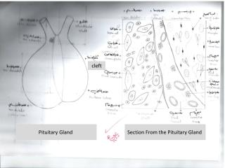 Section From the Pituitary Gland
