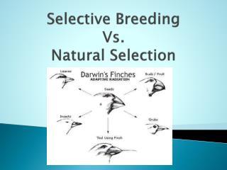 Selective Breeding  Vs.  Natural Selection