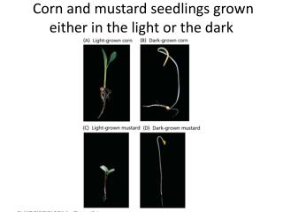 Corn and mustard seedlings  grown either in the light or the dark