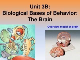 Unit 3B: Biological Bases of Behavior: The Brain
