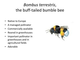 Bombus terrestris ,  the buff-tailed bumble bee