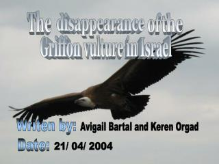 Griffon vulture in Israel