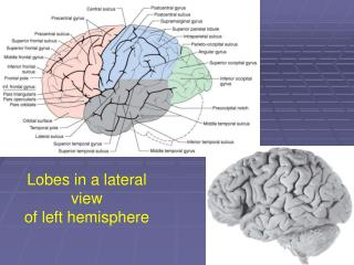 Lobes in a lateral view  of left hemisphere