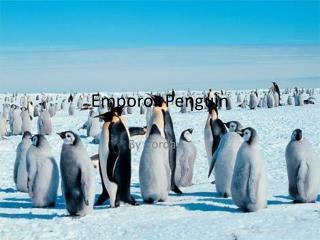 Emporor Penguin
