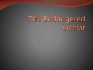 The Endangered Ocelot