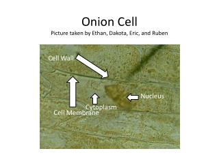 Onion Cell Picture taken by Ethan, Dakota, Eric, and Ruben