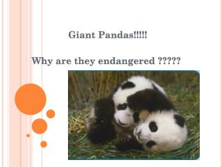 Giant Pandas!!!!! Why are they endangered ?????