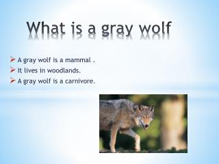 What is a gray wolf