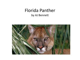 Florida Panther by AJ Bennett