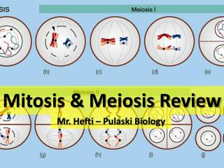 Mitosis & Meiosis Review
