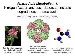 Amino Acid Metabolism 1: Nitrogen fixation and assimilation, amino acid degradation, the urea cycle