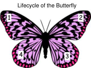 Lifecycle of the Butterfly