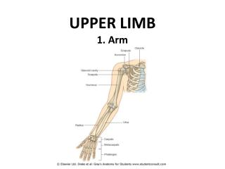 UPPER LIMB 1. Arm