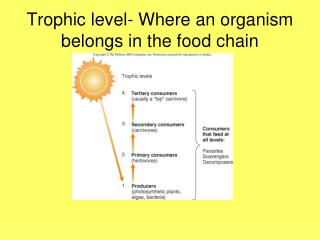 Trophic level- Where an organism belongs in the food chain