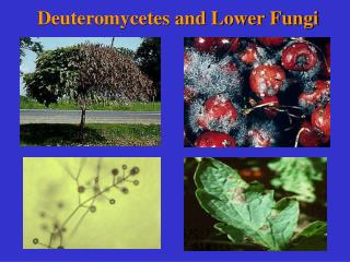 Deuteromycetes and Lower Fungi