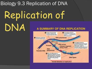 Biology 9.3 Replication of DNA