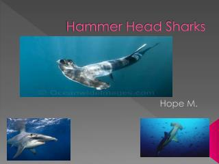 Hammer Head Sharks