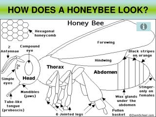 HOW DOES A HONEYBEE LOOK?