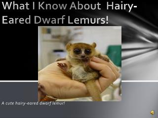 What I Know About  Hairy- Eared  D warf  L emurs!