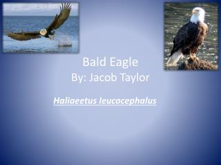 Bald Eagle By: Jacob Taylor