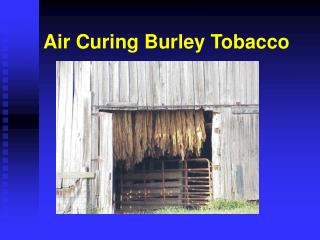 Air Curing Burley Tobacco