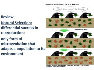 Review- Natural  Selection:   differential success in reproduction;
