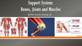 Support System:  Bones, Joints and Muscles