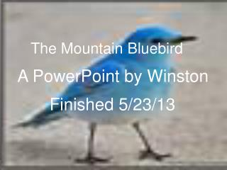 The Mountain Bluebird