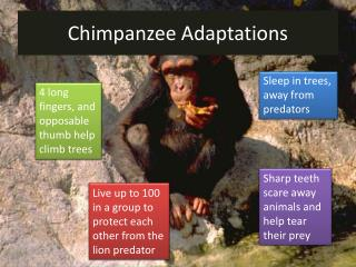 Chimpanzee Adaptations