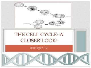 The Cell Cycle: A closer look!