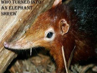 The elephant who turned into an elephant shrew