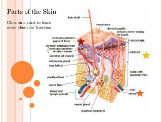 Parts of the Skin Click on a start to learn more about its' function.