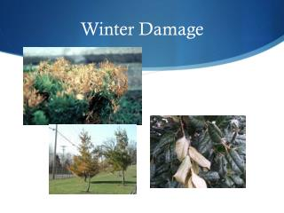 Winter Damage