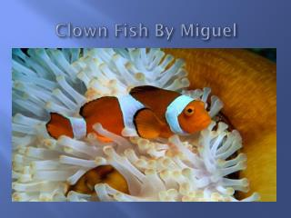 Clown Fish By Miguel