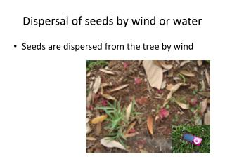 Dispersal of seeds by wind or water