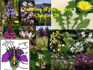 Evolution of the Flower Chapter 20