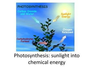 Photosynthesis: sunlight into chemical  e nergy