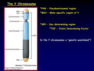 The Y Chromosome