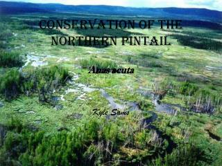 Conservation of the Northern Pintail