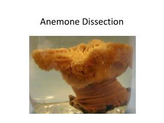 Anemone Dissection