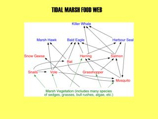 TIDAL MARSH FOOD WEB