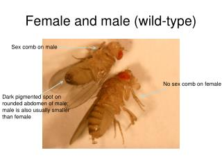 Female and male (wild-type)