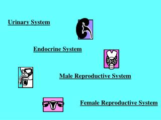 Urinary System Endocrine System Male Reproductive System Female Reproductive System