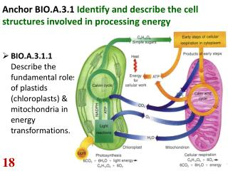 Anchor BIO.A.3.1 Identify and describe the cell structures involved in processing energy