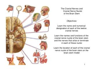 The Cranial Nerves and    Cranial Nerve Nuclei of the Brain Stem Objectives: