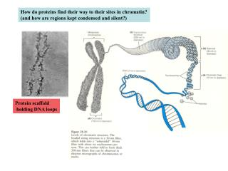 How do proteins find their way to their sites in chromatin?