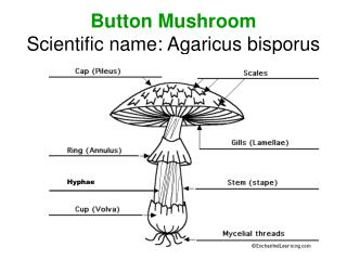 Button Mushroom Scientific name: Agaricus bisporus