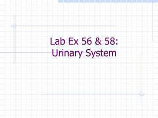Lab Ex 56 & 58:  Urinary System