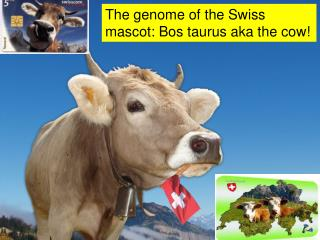 The genome of the Swiss mascot: Bos taurus aka the cow!