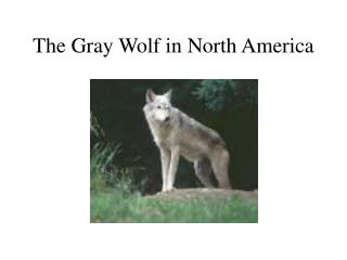 The Gray Wolf in North America